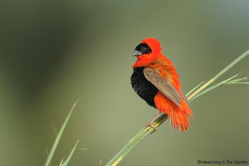 Red Bishop Male in Display