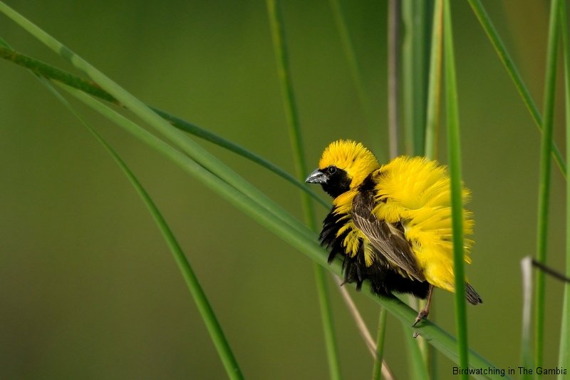 Yellow-crowned Bishop Male in Display